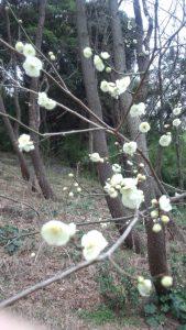 「三渓園(さんけいえん・横浜)の緑萼梅(りょくがくばい)」<389>